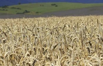 Ceny obilnín by mali s blížiacou sa žatvou klesnúť